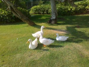 A group of ducks enjoying the peaceful life of Mysore (Infosys Mysore Campus)